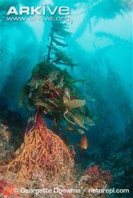 Giant-kelp-holdfast