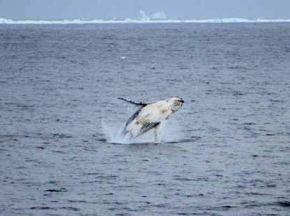 Als Whale